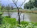 Water binnen de Biesbos.JPG
