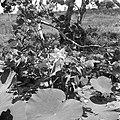 Waterlelies in de Van Drimmelenpolder in Nickerie, Bestanddeelnr 252-5538.jpg
