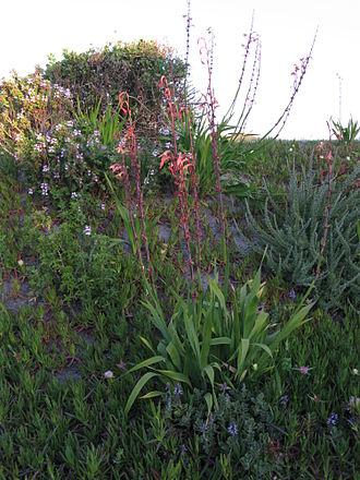 Watsonia meriana - Watsonia meriana near end of flowering showing cormlets on inflorescence