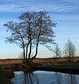 Weerribben Elzen (Alnus) langs weg. Locatie Nationaalpark Weerribben 02.JPG