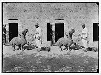 Weli of Budrieh at Sherafat and the preparing of a sacrifice. Watering the sheep before the sacrifice. LOC matpc.01415.jpg