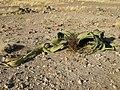 Welwitschia mirabilis S&J2.jpg