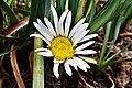 Werneria nubigena en el Parque Nacional Huascarán.jpg