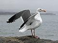Western Gull HMB RWD6.jpg