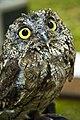 Western Screech Owl COLUMBIA RIVER GORGE (23788327282).jpg