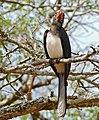 White-crested Hornbill (Tropicranus albocristatus) (31873086260).jpg