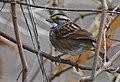 White-crowned Sparrow (32224387968).jpg