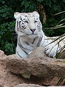 White Bengal tiger2.jpg