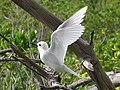 White Tern1.jpg