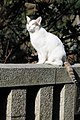 White cat with residual markings on a stone railing-Hisashi-01.jpg