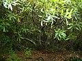 Wild almond.jpg