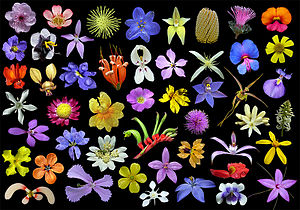 Wildflower - Wildflowers of Western Australia