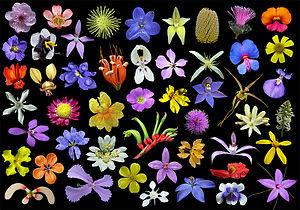 Wildflower - Wildflowers of Western Australia