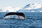 Wilhelmina Bay Antarctica Humpback Whale 11 (46421728455).jpg
