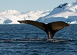 Wilhelmina Bay Antarctica Humpback Whale 6 (46421727295).jpg