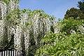 Wisteria floribunda Alba 2zz.jpg