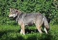 Wolf Canis lupus lupus Tierpark Hellabrunn-2.jpg