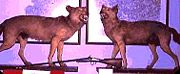Two of the Wolves of Périgord, responsible for the deaths of 18 people on February 1766, on display at the chateau of Razac in Thiviers