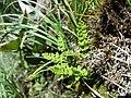 Woodsia alpina sl1.jpg