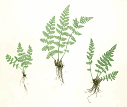 Woodsia ilvensis Moore47A.png