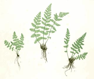 Woodsiaceae family of plants