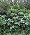 Woodwardia radicans kz2.JPG