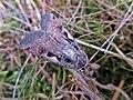 Xestia c-nigrum (Noctuidae) - (imago), Molenhoek, the Netherlands.jpg
