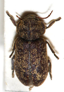 Deathwatch beetle Species of woodboring beetle