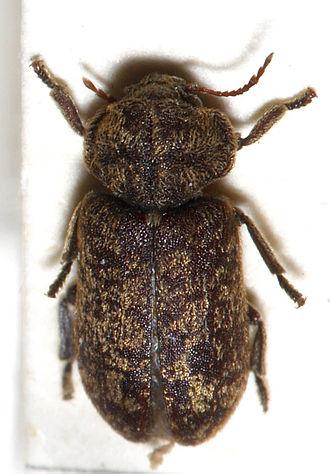 Deathwatch beetle - Image: Xestobium.rufovillos um