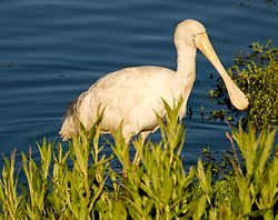 Yellow-billed Spoonbill feeding.jpg