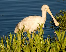 Yellow-billed Spoonbill feeding