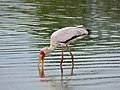 Yellow-billed Stork (Mycteria ibis) (11477430575).jpg