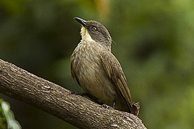 Yellow-throated Greenbul - Uganda H8O3440 (17050580852) (cropped).jpg