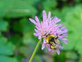 Yellow Bumblebee 2013.jpg