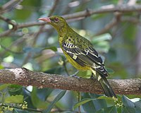 Yellow Oriole ( Oriolus flavocinctus) - Flickr - Lip Kee.jpg