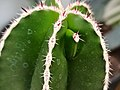 Yema de ramificación en Pachycereus marginatus.jpg