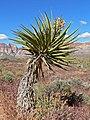 Yucca schidigera 6.jpg