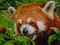 Zürich Zoo Red Panda (16723953854).jpg