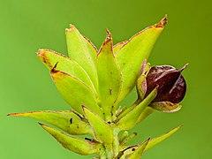 Zaden van een Eucomis montana (Ananas lelie). 04-10-2020 (d.j.b.) 02.jpg