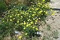 Zakynthos flora (35873565195).jpg