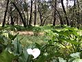 Zantedeschia aethiopica Tuart Forest.jpg