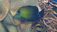 Zebrasoma scopas - Weißdorn-Segeldoktor