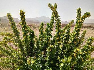 Berberis - Iranian spice