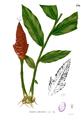 Zingiber montanum Blanco2.370.png