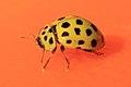 Zweiundzwanzigpunkt-Marienkäfer Psyllobora vigintiduopunctata 1238.jpg