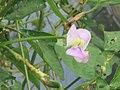"""+arya+"" kacang panjang (Vigna unguiculata sesquipedalis) ꦏꦕꦁ ꦭꦚ꧀ꦗꦫꦤ꧀ 2020 0.jpg"