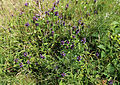 'Prunella vulgaris' in grassland at Woodland Trust wood Theydon Bois Essex England.JPG