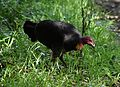 (1)Brush turkey-1.jpg