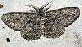(1943) Great Oak Beauty (Hypomecis roboraria) (4764578003).jpg