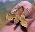 (1992) Small Elephant Hawk-moth (Deilephila porcellus) (4758651620).jpg